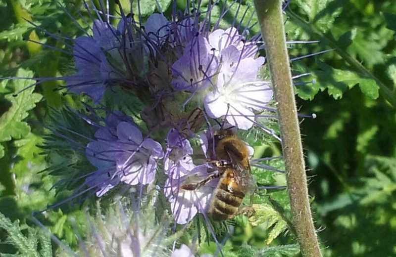 2018-domaine-JLV-phacélie -abeille-levignoblenantes-tourisme