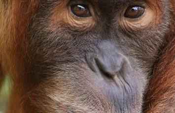Orang-outan de Sumatra – JOKO – Zoo BDD
