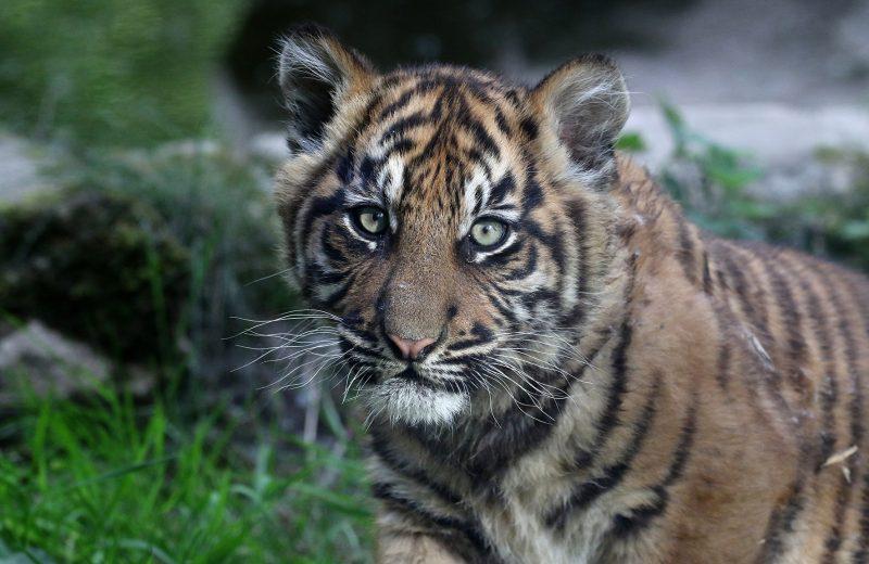 Tigre de Sumatra – JAHLY – Zoo BDD